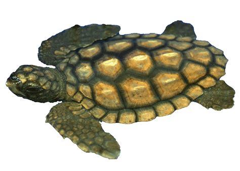 Turtle Sea adopt a turtle sea turtle exploration