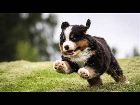second of puppy 60 seconds of bernese mountain puppies