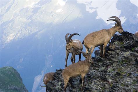 de cabras la suicida atracci 243 n de las cabras por los acantilados