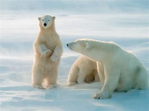 los contaminantes amenazan al oso polar