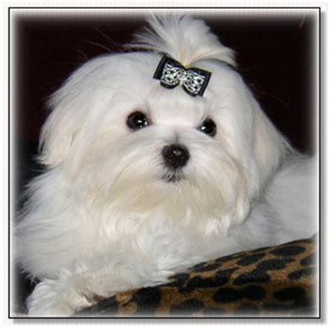 Maltese Birth Records Maltese Breeder Maltese Puppies For Sale Maltese Breeder In Pa
