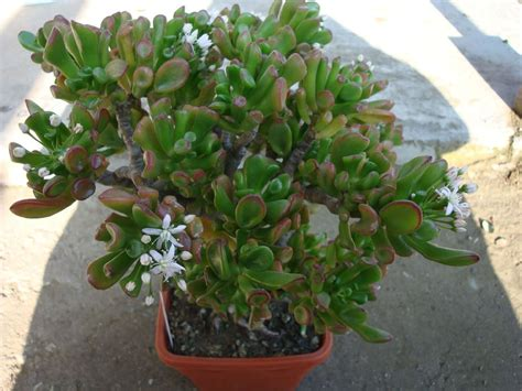 Indoor Trees Low Light by Plants Amp Flowers 187 Crassula Ovata Convoluta Gollum