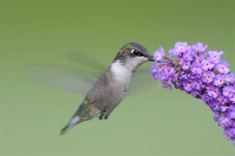 hummingbird food what do hummingbirds eat