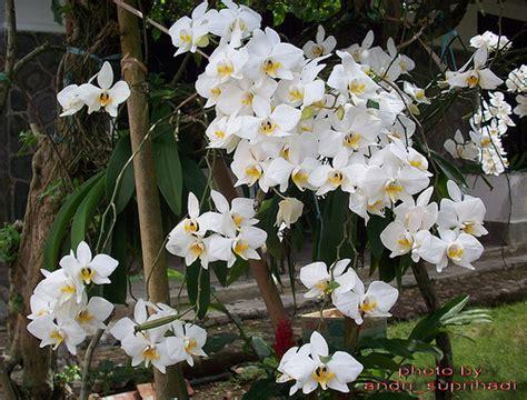 Tanaman Hias Anggrek Bulan Putih anggrek bulan putih phalaenopsis amabilis white a