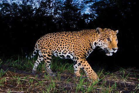 imagenes de la jaguar tras las huellas del jaguar guardi 225 n de la noche m 233 xico