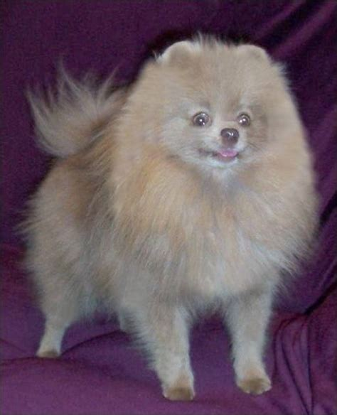what colors do pomeranians come in 10 facts about pomeranians pommy nation