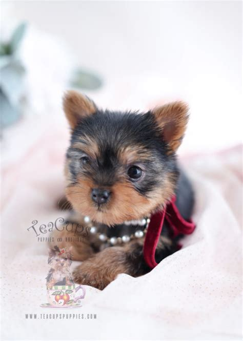florida yorkies for sale or teacup yorkies for sale teacups puppies boutique