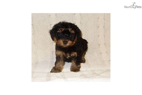 yorkie poo puppies for sale in iowa black and white yorkie poo puppies for sale