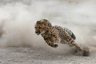 How Fast Can A Jaguar Go Redsight890 Collection Dogs Help Cheetahs Overcome