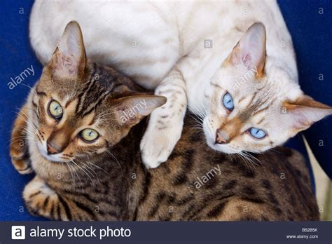blue eyed snow bengal kitten 3 months old youtube two young male bengal cats a brown spotted and snow