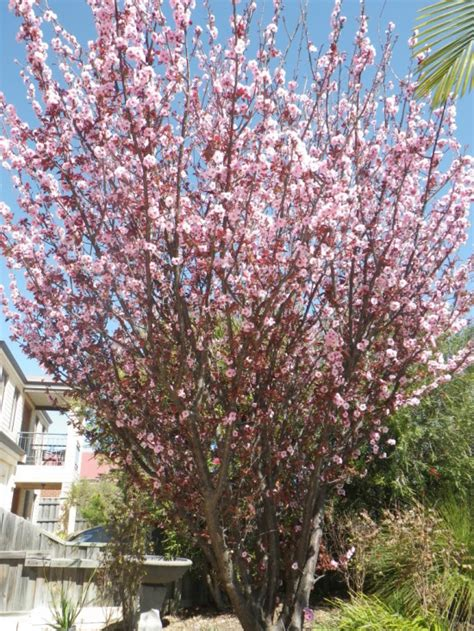 flowering plum landsdale plants