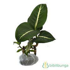 Tanaman Bunga Aglaonema Widuri tanaman aglaonema widuri bibitbunga