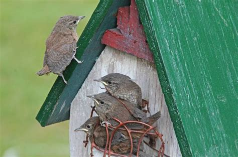 house wren backyard birds birds and blooms