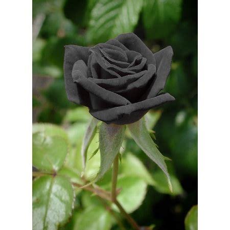 siyah guel tohumu  adetfarkli bir renkte  adet hediye