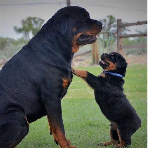 big rottweilers 330 best images about rottweilers on rottweiler puppies for sale best