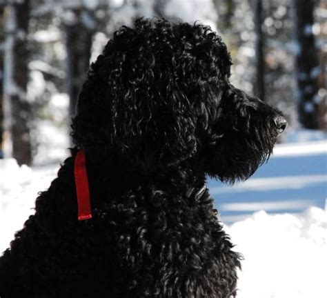 black goldendoodle puppies girlshopes