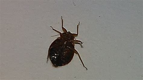 what eats bed bugs where did the phrase don t let the bed bugs bite