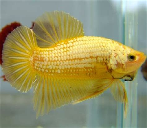 Betta Gold Size S dragons a new era in the world of bling bling