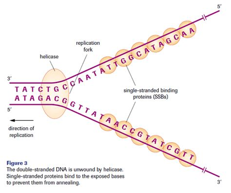 What Acts As The Template In Dna Replication Image Collections Template Design Ideas What Acts As The Template In Dna Replication
