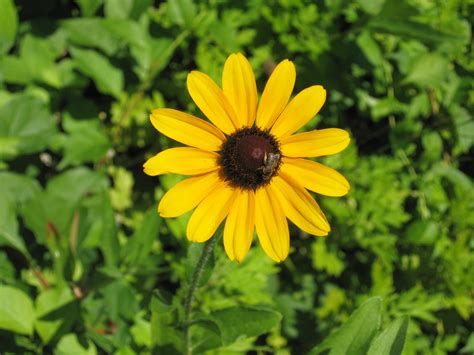 Fall Garden In Louisiana - black eyed susans how to plant grow and care for black eyed susans the old farmer s almanac