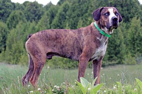 Catahoula Shedding by Louisiana Catahoula Breeds Picture