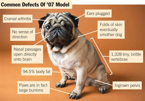 pug problems pedigree dogs exposed the pugs and puffery