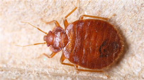 do bed bugs feed every night when bugs bite first aid health and wellness