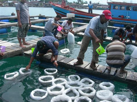 Jual Keramba Ikan Di Medan kiat kiat sukses membesarkan ikan kerapu di keramba jaring