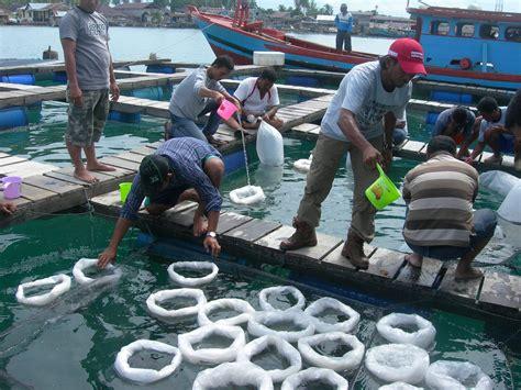 Bibit Ikan Kerapu Tikus budidaya laut budidaya ikan ikan hias resep ikan gambar dan