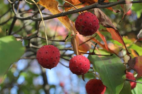 dogwood tree fruit kousa dogwood