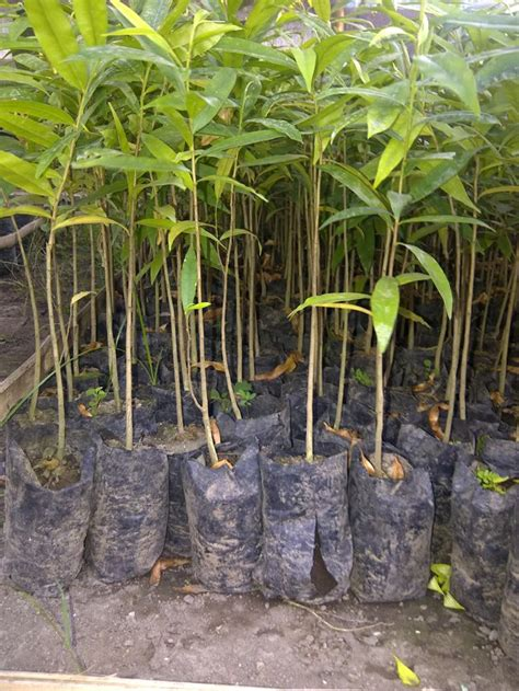 Jual Bibit Pohon Gaharu jual bibit gaharu di majalengka gaharu kci