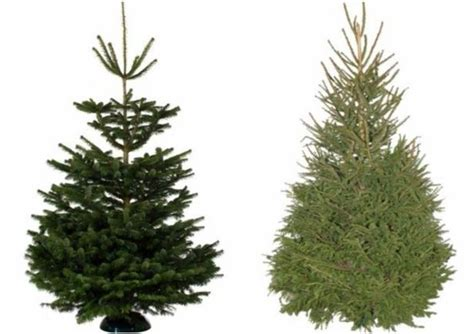 real christmas trees bq best places to buy a tree near birmingham birmingham mail