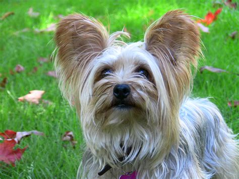 how much are yorkie dogs how much do puppies cost breeds picture