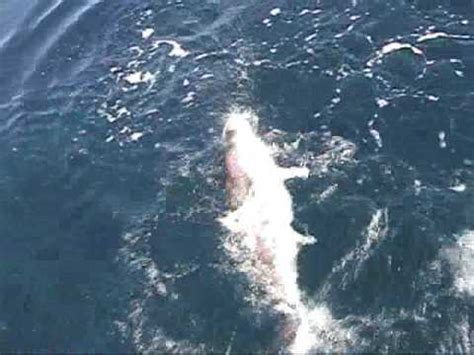 charter boat outer banks nc outer banks of nc charter boat poacher amberjacks