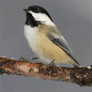 state birds maine me state bird list of 50 state birdes of the