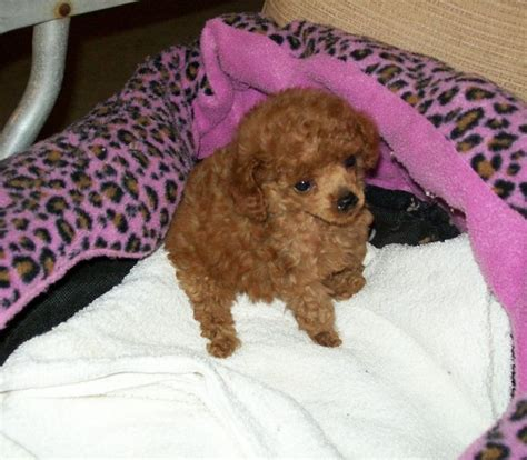 tiny poodle puppies for sale tiny poodle puppies for sale in alabama photo
