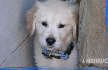 golden retriever breeders south africa golden retriever breeders south africa photo