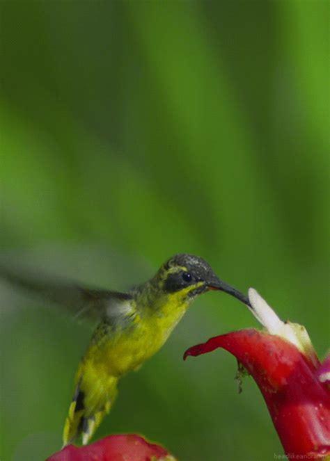 watch 25 so beautiful nature gifs hummingbird bird and gifs