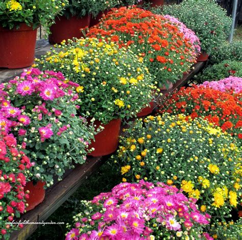 fall garden mums fall decorating ideas mums new house new home