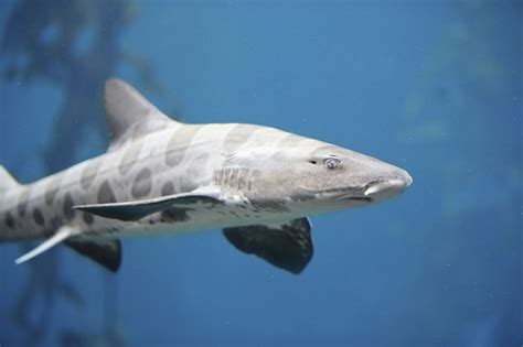 Point Reyes Outdoors: Leopard Sharks in Tomales Bay and ...