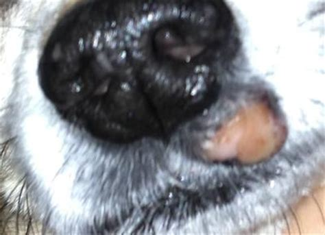 can dogs get cold sores pictures of growths on dogs noses breeds picture