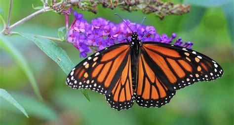 monarch butterfly monarch butterfly the beautiful winged wanderer