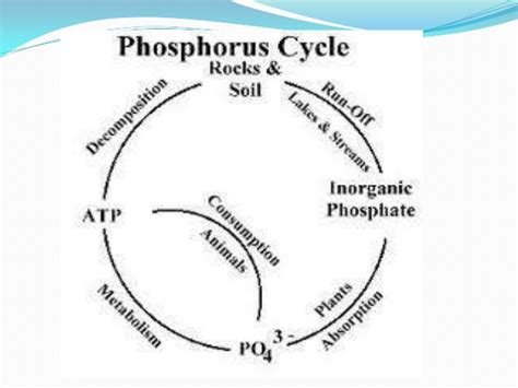phosphorus cycle diagram and explanation phosphorous cycle