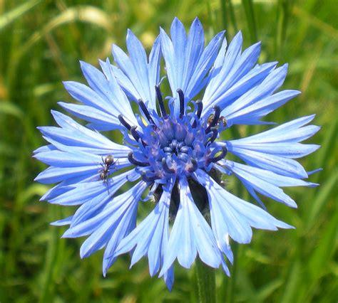 fiore fiordaliso cyanus