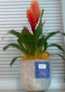 agapanthe citron plantes