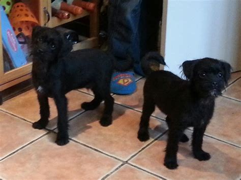 pug x poodle for sale uk puggle pug x poodle puppies leicester leicestershire pets4homes