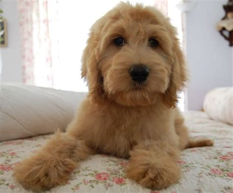goldendoodle puppy how much food 17 best ideas about golden doodle mini on