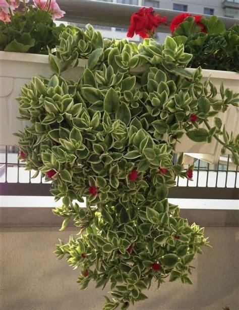 trailing succulent balcony garden web