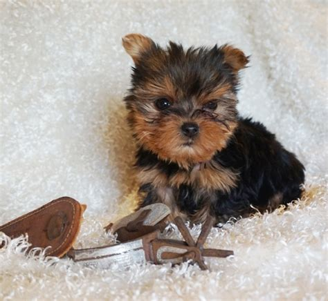 yorkie for sale craigslist yorkie puppies for sale in craigslist pomsky picture pomsky breeds picture