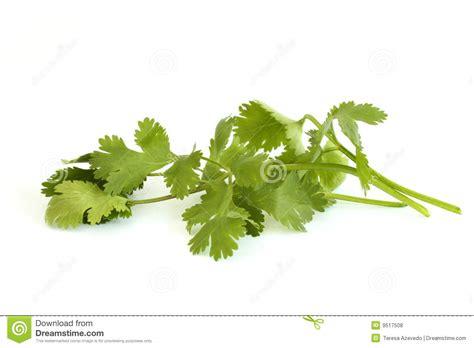 top 28 substitute for cilantro cilantro substitutes